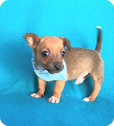 Burbank, CA - Chihuahua/Tibetan Mastiff Mix. Meet Mannie Teacup Chihuahua Pup, a puppy for adoption. http://www.adoptapet.com/pet/17730003-burbank-california-chihuahua-mix