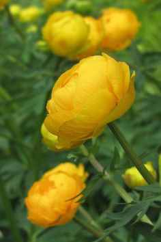 Golden Trollius