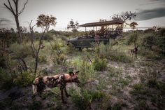 Chitabe Lediba Camp in the Chitabe Concession neighbours the Moremi Game Reserve in the south-east of the Okavango Delta. Its wide range of habitats makes for amazing wildlife sightings. Okavango Delta, Game Reserve, Wild Dogs, My Heritage, Lodges, Habitats, Wilderness, Safari, Wildlife