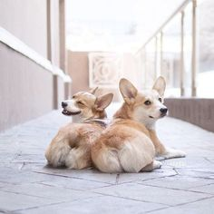 8 Cuddly and Adorable Facts You'll Want To Know About Corgis