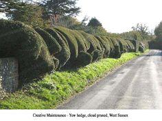 cloud pruned yew hedge