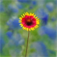 Texas Wildflower Image showcasing an Indian Blanket against a ...