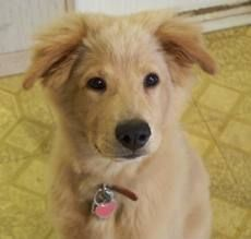 Golden Retriever Chow Chow mixed puppy. This is probably what Barker looked like when he was little.