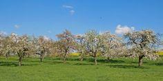 Heimatregion Oberschwaben  http://oberschwaben-welt.de  Blühende Obstbaumwiesen - Foto oberschwaben-welt.de