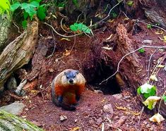 Groundhog filmed outside deep burrow ~ Observing the Woodchuck in Nature