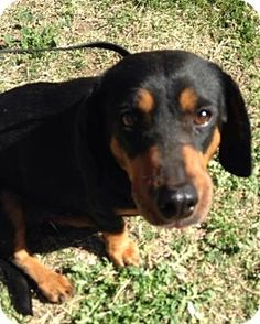 Pictures of Missy a Dachshund Mix for adoption in Surprise, AZ who needs a loving home.