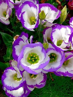 182 best flower lisianthus images on pinterest pretty flowers purple petals art print by denise mazzocco mightylinksfo