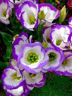 Purple Petals Art Print By Denise Mazzocco