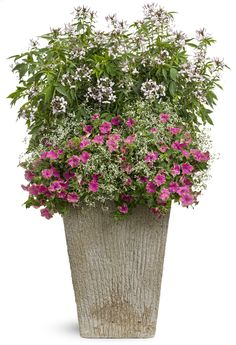 Dynamic container gardens include a mix of taller and shorter plants. Pink High Heels is a fun and flirty option for your largest containers.