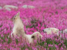 Polar Bear in Fireweed Polar bears are classified as a species of special concern in Canada, but a July 2013 report estimated that their global population has grown by more than 4,000 bears since 2011.  Photo by Dennis Fast