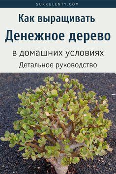 Растение Денежное дерево или Крассула яйцевидная (Crassula ovata). Как выращивать Денежное дерево в домашних условиях. Лечебные свойства и популярные сорта. #суккуленты #денежное дерево Sprouts, Vegetables, Vegetable Recipes, Veggies