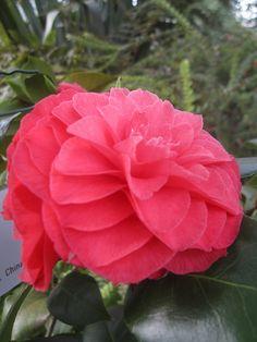 Camellia japonica 'Teutonia'