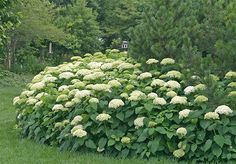 Hydrangea Arborescens Annabelle  Position: full sun or partial shade  Soil: moist, well-drained, moderately fertile, humus-rich soil  Rate of growth: average  Flowering period: July to September