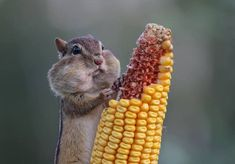 Once a year, the Comedy Wildlife Photography Awards celebrate the amazing diversity—and the overwhelming silliness—of the animal kingdom. As a comical copycat of the animal-themed photography contests historically held by institutions like the National Geographic and London's Natural History Museum, this quirky competition showcases the not-so-serious side of nature. From an adorable, corn-on-the-cob-loving chipmunk to an entirely relatable meerkat mid-facepalm, there is no shortage of…