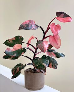 Plantas Indoor, Pink Plant, Plants Are Friends, Variegated Plants, Office Plants, Rare Plants, Pink Princess, Tropical Plants, Green Plants
