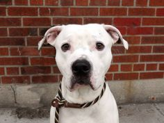 """2:22pm 4/2/14:  Chewy is NOT SAFE!!! """"Adopter""""/foster fell through. PLEASE SHARE LIKE CRAZY!!!!! Brooklyn Center -P  My name is CHEWY. My Animal ID # is A0994596. I am a male white and br brindle pit bull mix. The shelter thinks I am about 1 YEAR 5 MONTHS old.  I came in the shelter as a OWNER SUR on 03/22/2014 from NY 11205, owner surrender reason stated was NYCHA BAN.  https://www.facebook.com/photo.php?fbid=776783379001210&set=a.611290788883804.1073741851.152876678058553&type=3&theater"""
