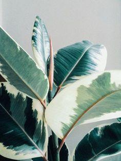 Ficus elastica - All About Ficus Elastica, Plantas Indoor, Plants Are Friends, Green Plants, Houseplants, Indoor Plants, Planting Flowers, Plant Leaves, Succulents