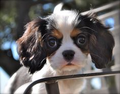 Tri Cavalier King Charles PUPPY! www.almostfamousdog.com