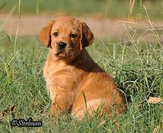 FOX RED LABRADORS GALLERY PHOTOS LAB BREEDERS PUPPIES