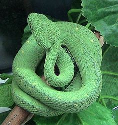 Atheris chlorechis is a venomous viper species found only in the forests of West Africa