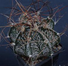 Astrophytum crassispinoides r229 Cactusloft