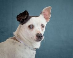 Euthanasia date 05/10/17. A5043471 Smitty is a knock-out 7-year-old male white-and-black Jack Russell Terrier mix who came to the Baldwin Park Animal Care Center on March 23rd as a stray from La Puente.