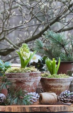 A potted hyacinth just ready to bloom, early, in a frosty garden.