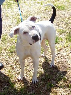 04/11/15-Clayton Co GA - This is a High Intake - High Shelter - Please Share for fosters/rescues/pledges - #150812 Pit Mix Adult Intake 3-20-15 Available 3-27-15 -RESCUE ONLY- IN STATE (GA) ADOPTERS - If you are in GA and interested in this pet please contact a licensed GA rescue group that can assist you in pulling this animal. We work very closely with TLC Pet Rescue, Safe Harbor Rescue and Courtney's Canine Care just to name a few. OUT OF STATE ADOPTERS - If located out of state and…