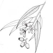 Eucalyptus leaves drawing - Google Search