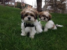 The CUTEST Shichon's