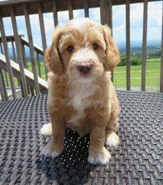 Mini English Teddy Bear Goldendoodle