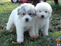 Great Pyrenees pups