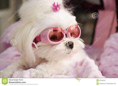 Cute Fashion Diva Puppy Maltese Royalty Free Stock Image - Image ...