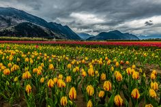 Thumbs Up: The Fraser Valley Tulip Festival in Aggassiz, BC! Fraser River, Fraser Valley, Tulip Festival, Tulip Fields, Nature Pictures, British Columbia, Photo Credit, Tulips, Vineyard