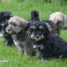 Blue Merle Schnoodle puppy. Hypoallergenic, nonshed