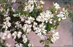 Flowers of Bauhinia lunarioides