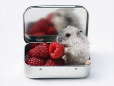 For those having a hard day, here is a hamster enjoying raspberries.i miss my dwarf hamsters Cute Creatures, Beautiful Creatures, Animals Beautiful, Animals And Pets, Funny Animals, Cute Hamsters, Cute Mouse, Tier Fotos, All Things Cute