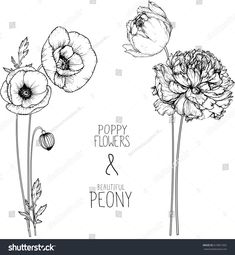 flowers drawing peony and poppy flower vector, illustration and line art