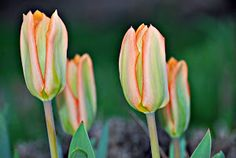 tulips by Tim Hauser -  Click on the image to enlarge.