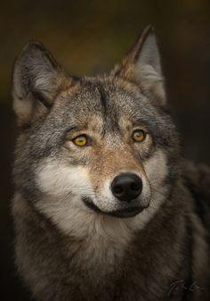 Magnifique loup !