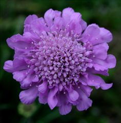 Pincushion flower ... I love these and want lots in my garden.