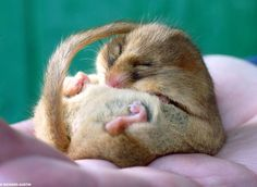 Curled into a plump ball, adorable dormouse Dozey has finally curled up and gone into hibernation after being fattened up by rescuers. Rescue centre staff feared Dozey might die if he didn't gain enough weight in time to hibernate Cute Little Baby, Cute Little Animals, Cute Babies, Adorable Animals, Fat Animals, Funny Animals, Cute Rats, Animal Photography, Animals Beautiful