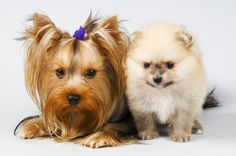 Yorkie with pomeranian puppy.  Looks like Snookie and Riley!