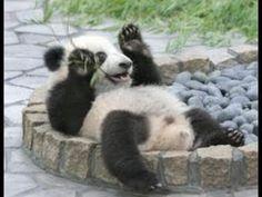 まるでおっさん水浴びするパンダのかわいい瞬間【パンダシャンシャンチャンネル】Cute moment of panda to bath - YouTube