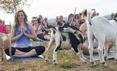 OBRAZEM: Ve světě je hitem cvičit jógu s kozami