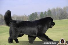 Newfoundland dog...would loooove one of these!