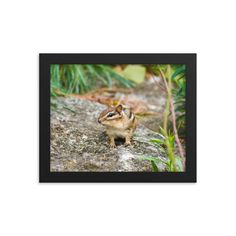 Framed poster of chipmunk - Canadian animals - Toronto photographer - Framed Photo Print - Home Decor - Wall Art Canadian Animals, Toronto Photographers, Chipmunks, Home Decor Wall Art, Framed Art Prints, Animal Pictures, Wildlife, Poster, Photography