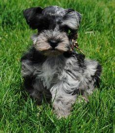 ... | Schnauzers, Miniature schnauzer and Miniature schnauzer puppies