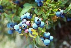 The Best Time to Plant Blueberry Bushes in Tennessee