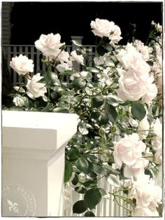 beautiful flowers on fences   Beautiful white flowers growing along a fence....
